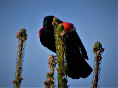 Redwing Blackbird 100k.jpg