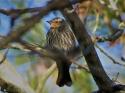 Tree Swallow grooming---Female Red-wing black bird
