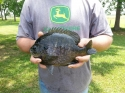 blue gill