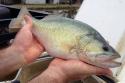 Overton Fisheries Camelot Bell Broodstock 2015