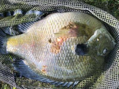 Fungus on Bluegill