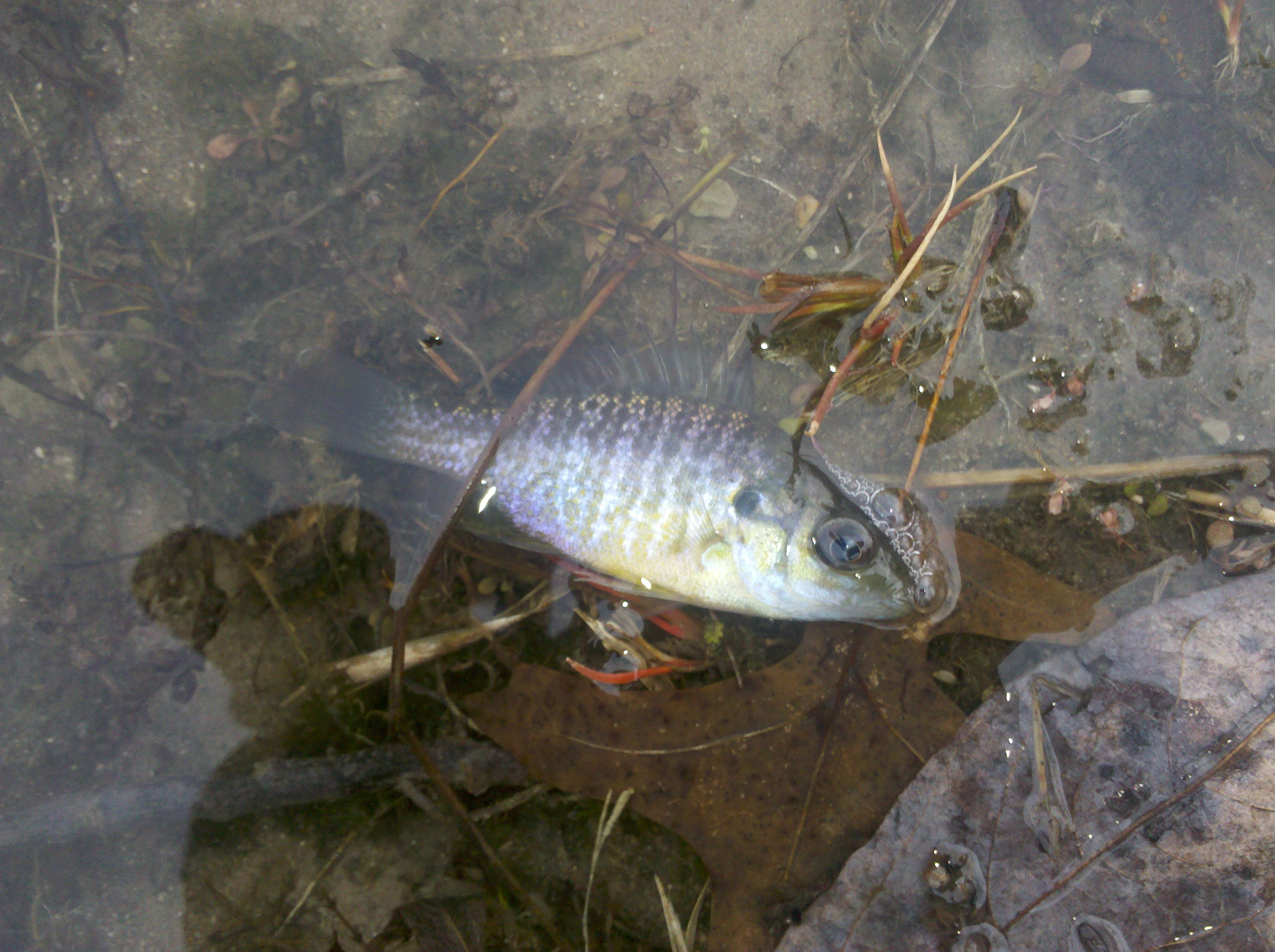 Bluegill fish pond related keywords bluegill fish pond for Pond fish varieties