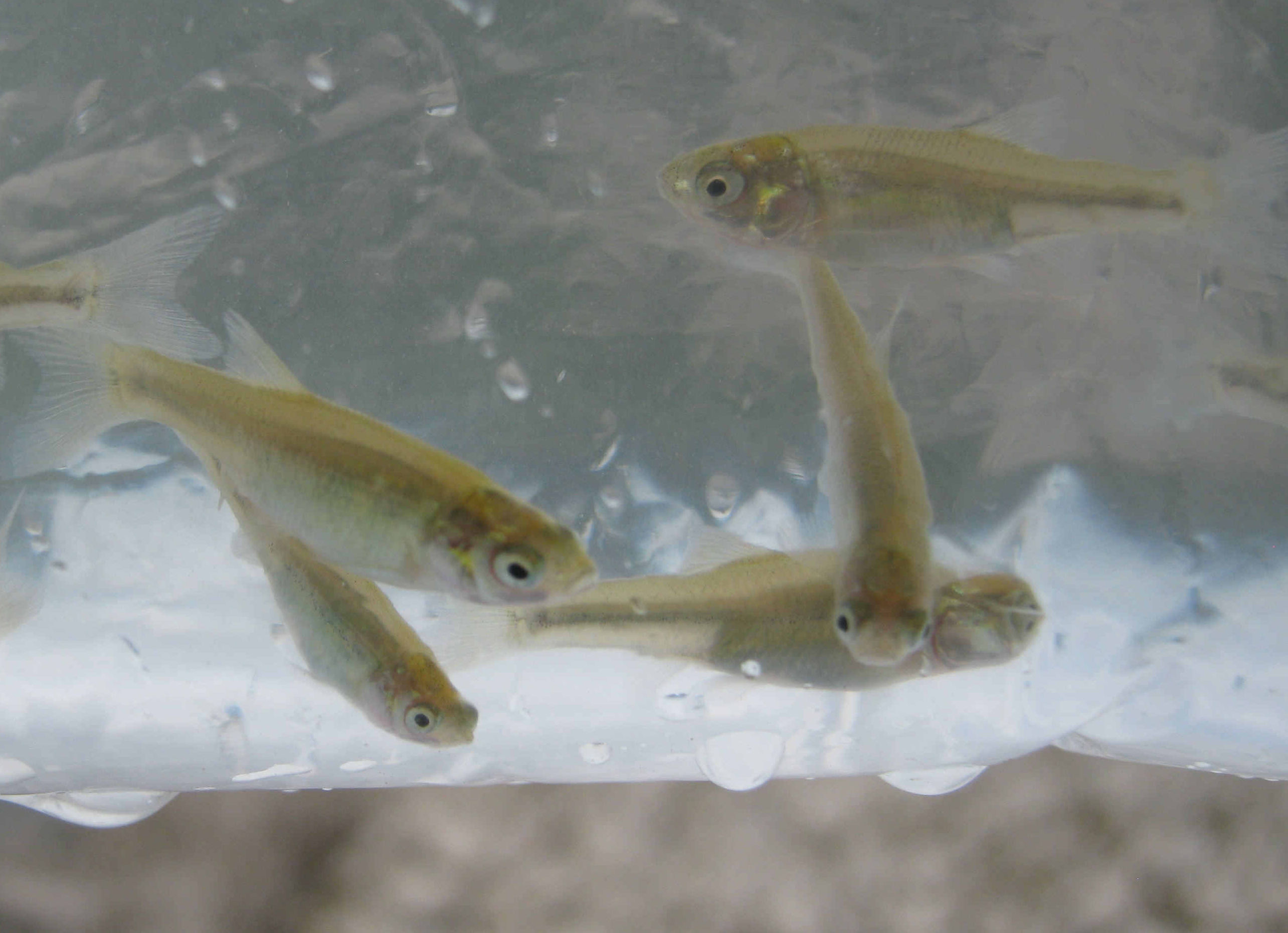Fhm sanity check other fish species pond boss forum for Pond fish identification