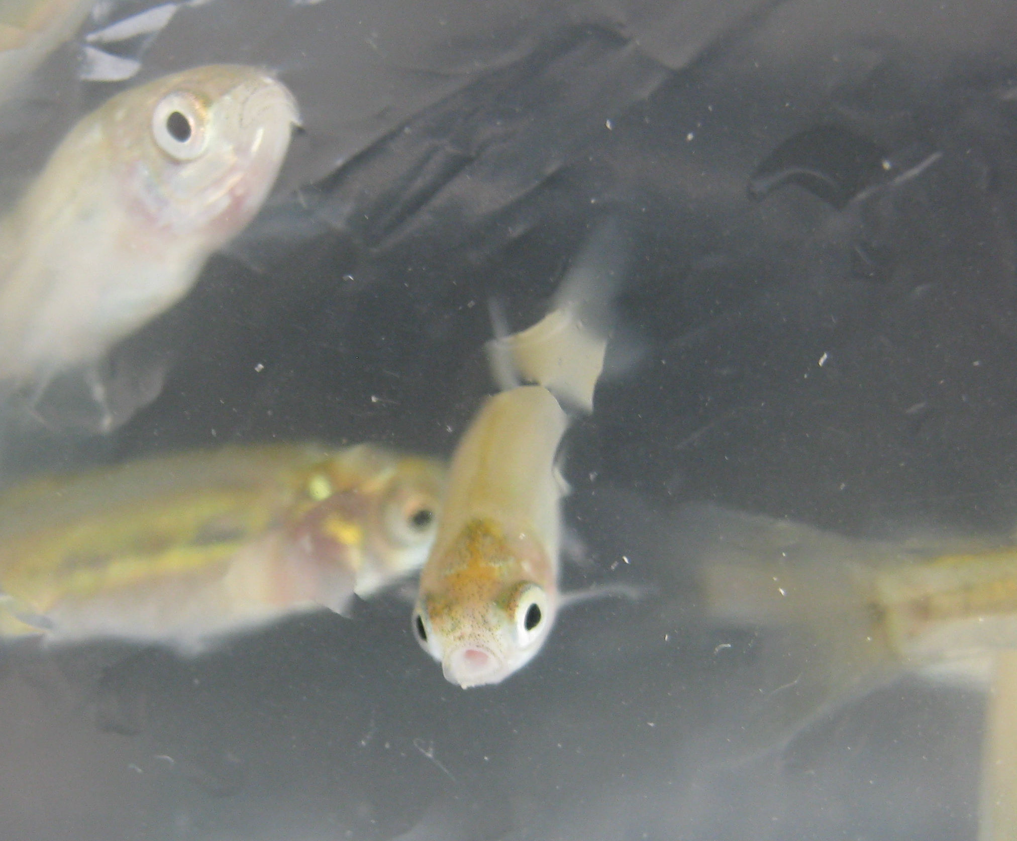 Fhm sanity check other fish species pond boss forum for Pond fish species