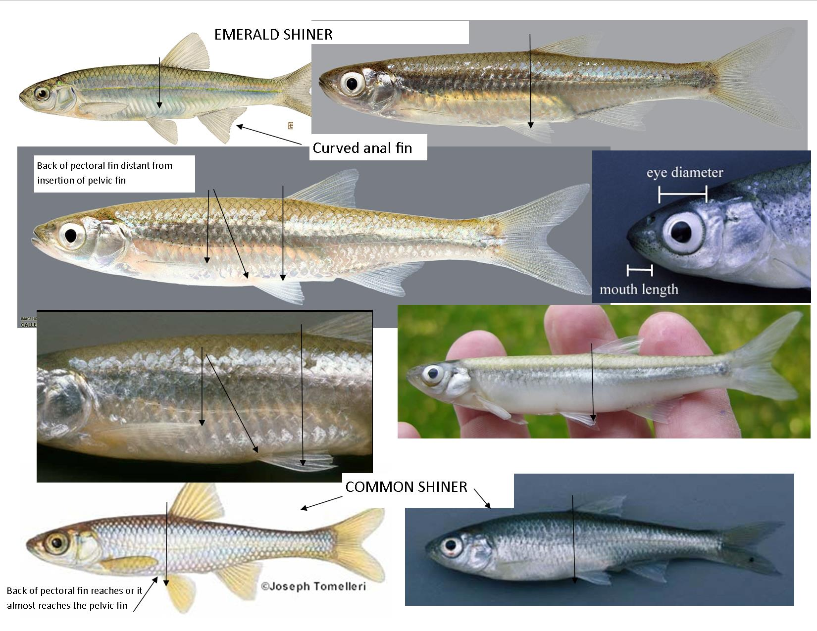 Minnow identification fly fishing other fish species for Pond fish identification